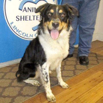 Border Aussie Dog For Adoption In Fayetteville Tn Adn 515583 On