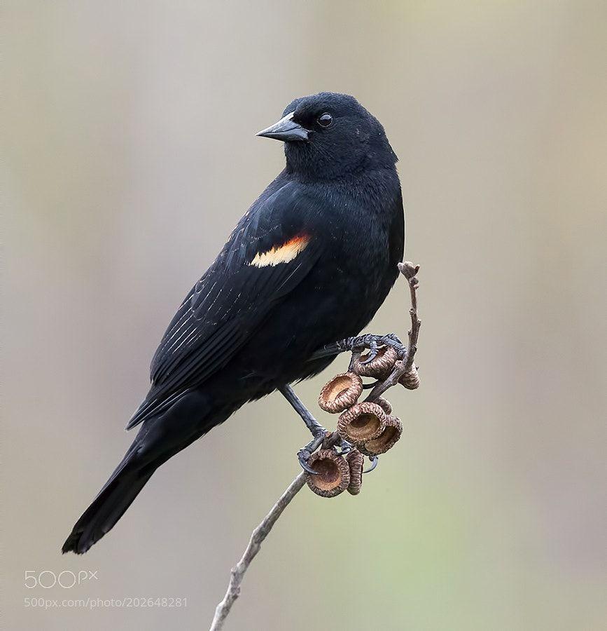 Red-winged Blackbird by ElizabethE via http://ift.tt/2mfW4ul
