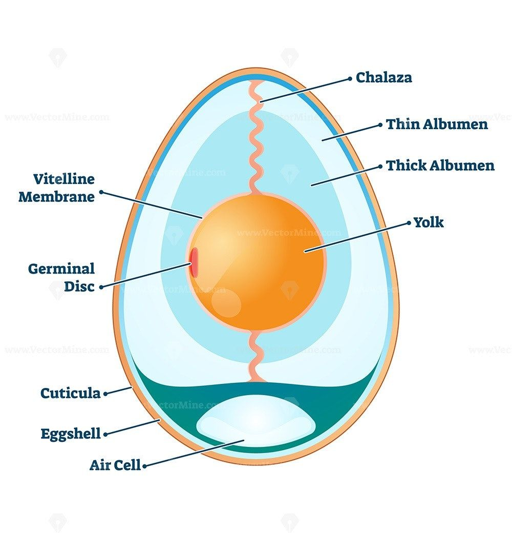 Egg Structure Vector Illustration In 2020 Vector Illustration Bird Unit Study Illustration
