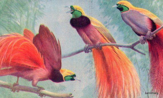 1950 Birds of Paradise Walter Weber for Framing by sandmarg