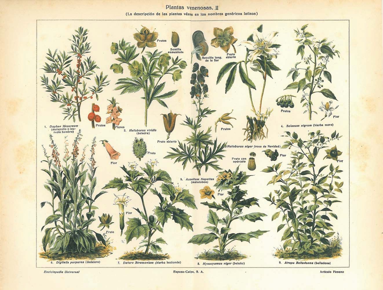 Botanical Print Poisonous Plants Vintage Chromolithograph1923 Via Carambas Shop Botanical Prints Poisonous Plants Chromolithograph