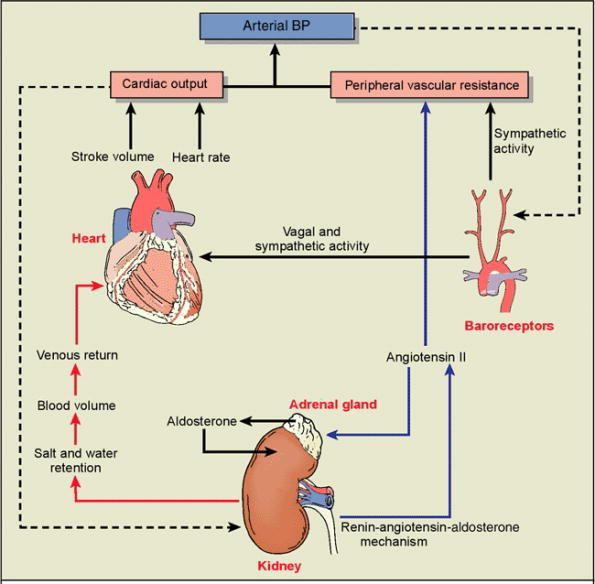 the cardiovascular system blood pressure regulation Autonomic nervous system: central cardiovascular control  the slope of the  relationship between blood pressure and heart rate or sympathetic activity is.