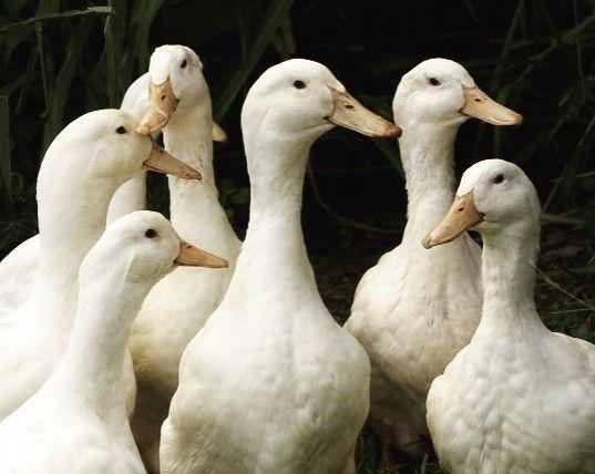 Aylesbury flock. Duck breeds, Duck, Breeds
