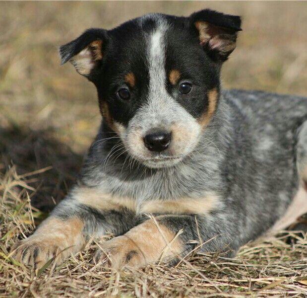 Blue Heeler Australian Cattle Dog Hunde Welpen Hunde