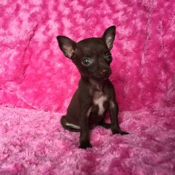 Chihuahua Puppy For Sale In Houston Tx Adn 22374 On Puppyfinder