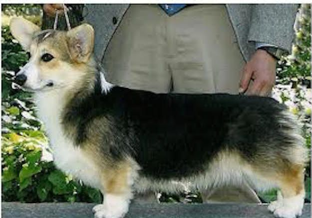 This Cute Corgi Named Bethany Accidentally Flew To Hawaii By