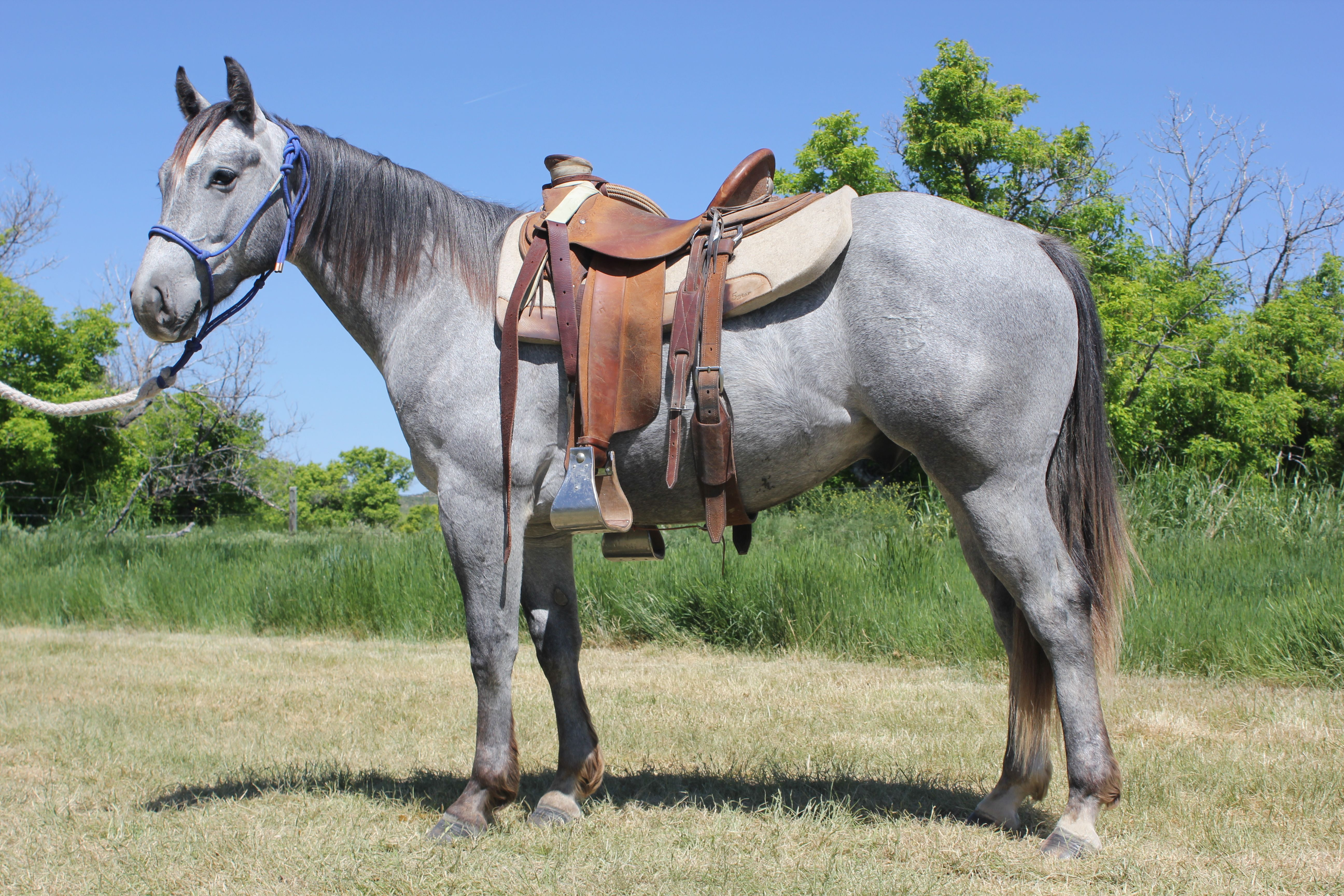 Handle The Big Time is a two year old gray gelding owned by Woody Bartlett, by One Time Pepto and out of NCHA money earning mare, Can You Handle It and HE SELLS at the WYO Quarter Horse Sales. He was started in The Bartlett Colt Starting Clinic in June. Plan to attend: http://goo.gl/3A9206