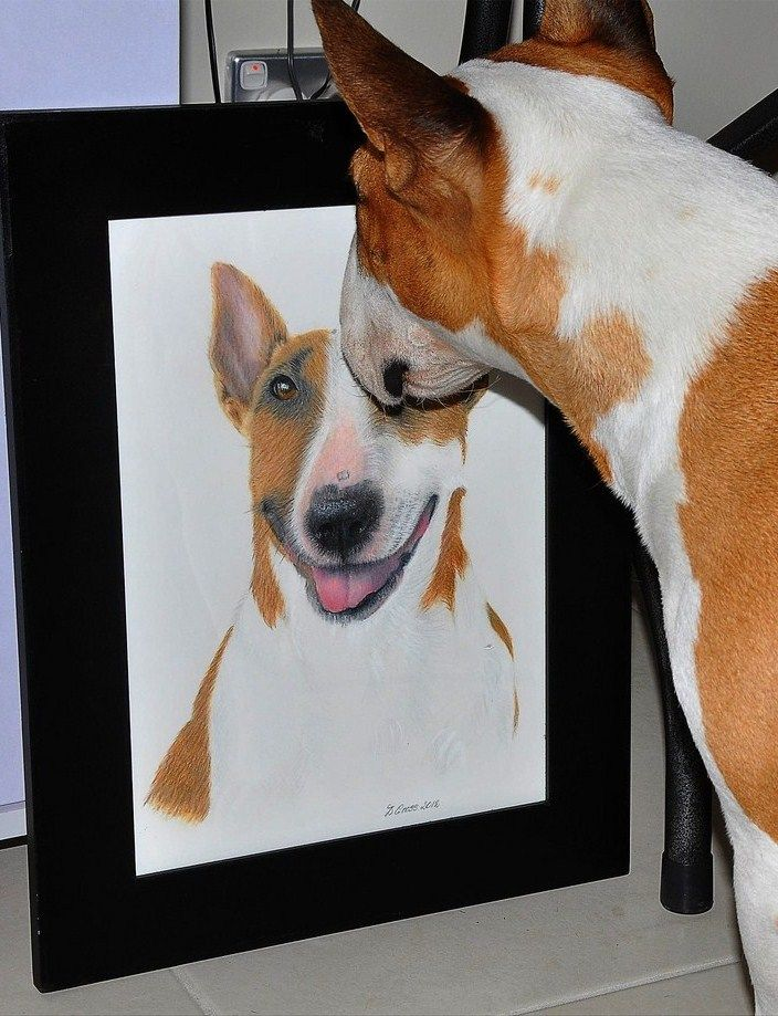English Bull Terrier looking at its own portrait.