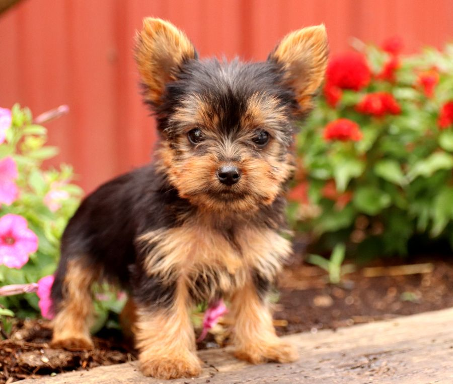 Meet Adorable Teacup Yorkie Puppy Sunshine She Is Sure To