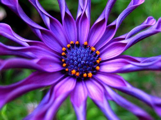Purple Osteospermum or African Daisy