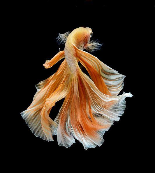 Guppy Endlers Aquarismo Soobshestvo Google With Images Beautiful Fish Siamese Fighting Fish Betta Fish Betta fish wallpaper gif betta fish my