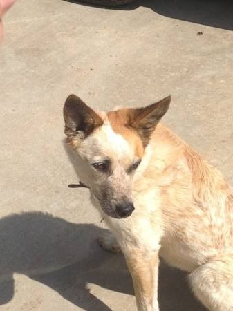 This Red Heeler Is Advertised As Found In Craigslist And Lost On Okclostpets Com With No Phone For The Owner Very Aggravating Losing A Pet Red Heeler Heeler