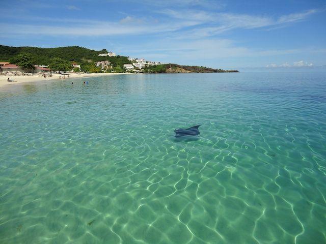 Manta Ray On Grand Anse Beach Grenada