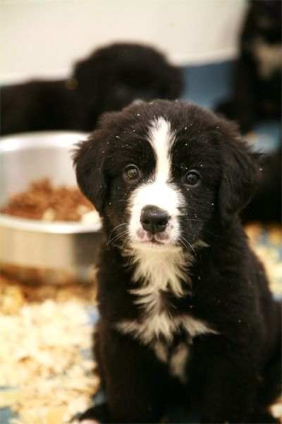 Labernois Puppy From The Mira Foundation Nursery Quebec Canada