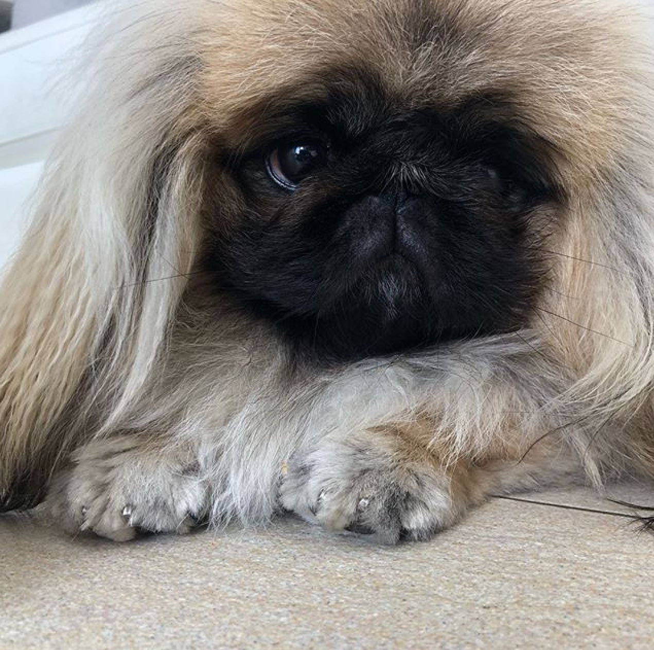 Pictures Of The Pekingese And Pugs Dog