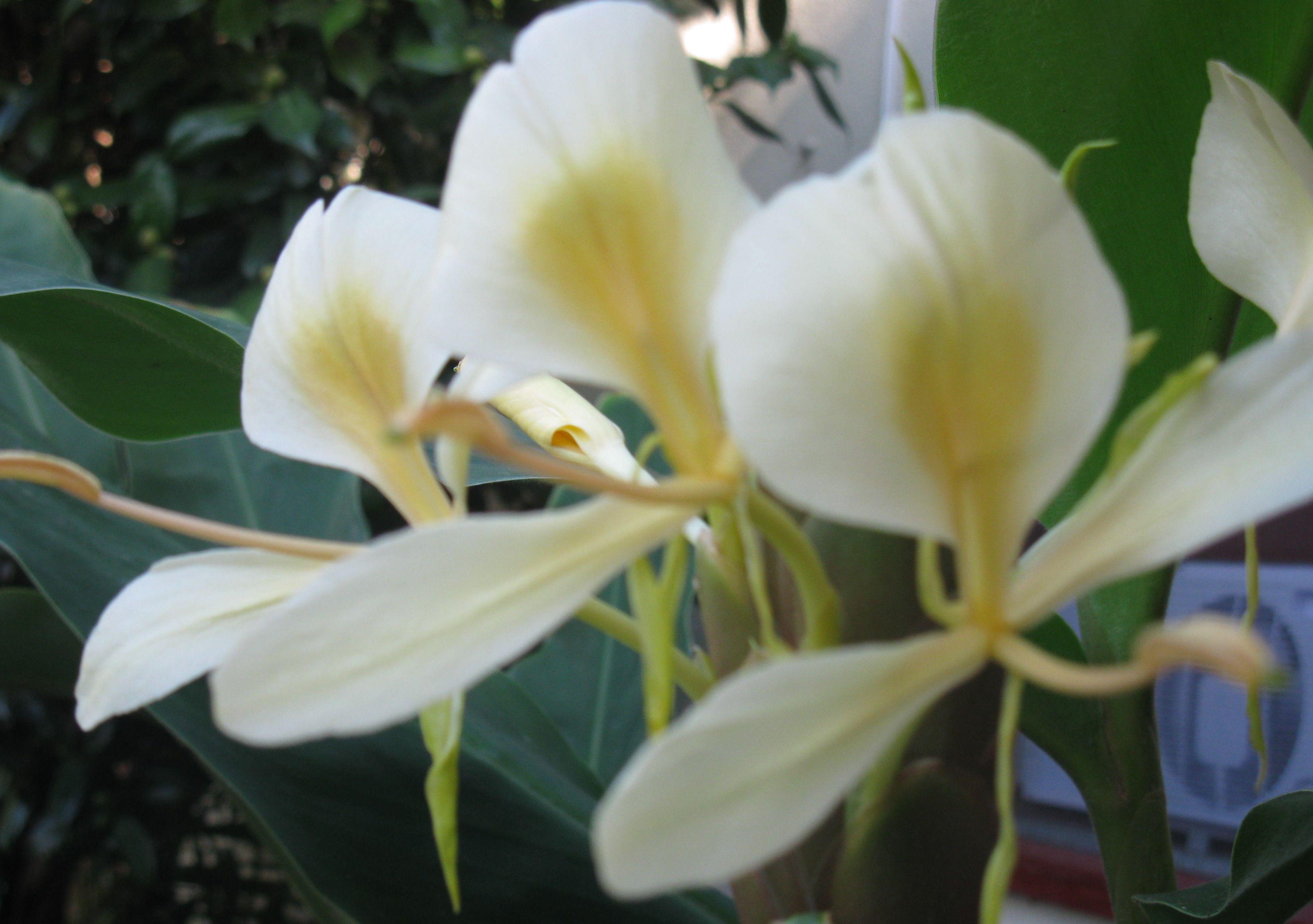 Flowering White Ginger Gardening Pinterest Flowers And Gardens