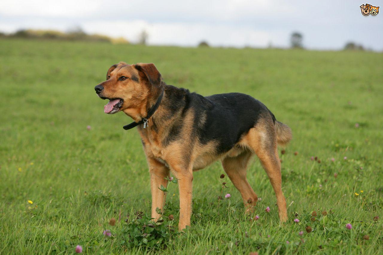 Huntaway Dog breeds, Dogs, Animals