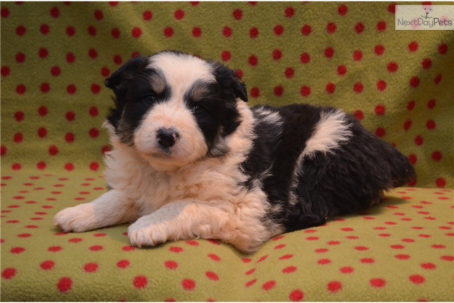Youll love this female australian shepherd puppy looking