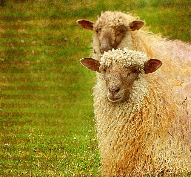 Curly hair sheep   <3 Sheep <3   Sheep, Sheep breeds, Sheep