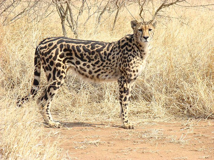 The King Cheetah Amazing Facts & Pictures Rare cats, Big