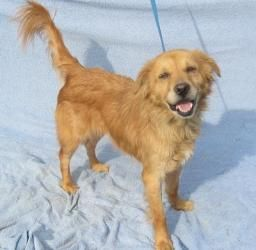 Adopt Autumn On Dogs Golden Retriever Adoption Fur Babies