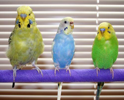 How To Train Your Pet Budgie Parakeet Care Budgies Bird Pet Birds