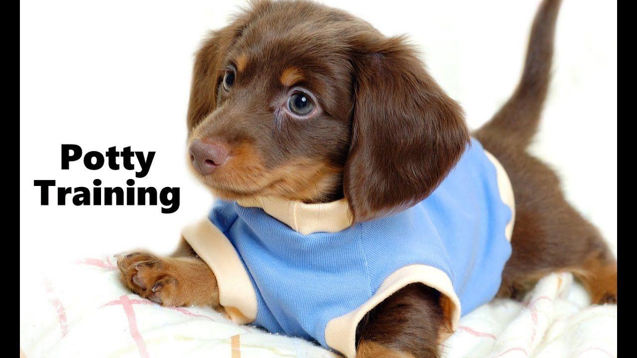 How To Potty Train A Dachshund Puppy Dachshund House Training