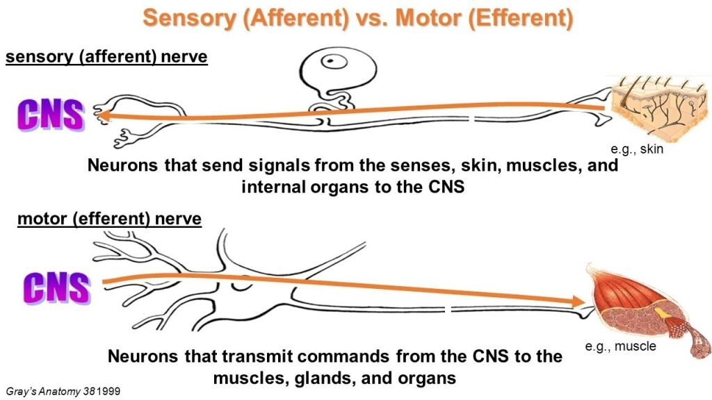 Afferent Nerve Fiber Wikipedia Efferent And Afferent Neurons ...
