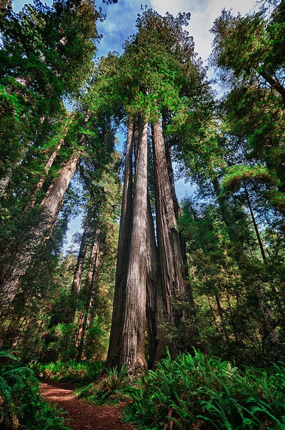 Great Redwood trees in forest of North California, naturalistic photo print by Visionitaliane, $25.00
