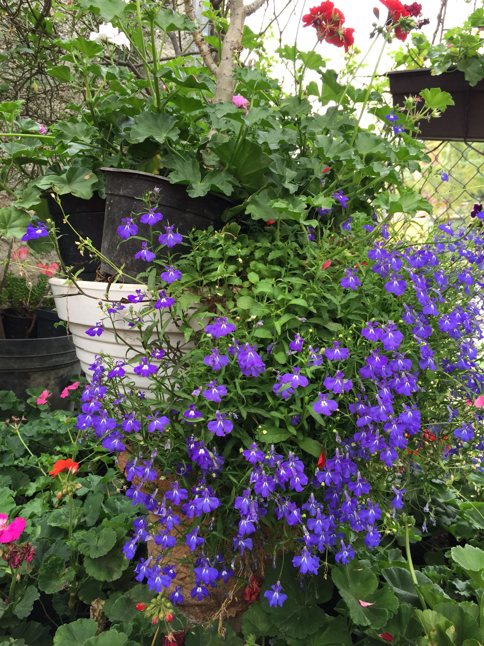 Flores colgantes de sol y sombra flores para for Arbustos para macetas exterior