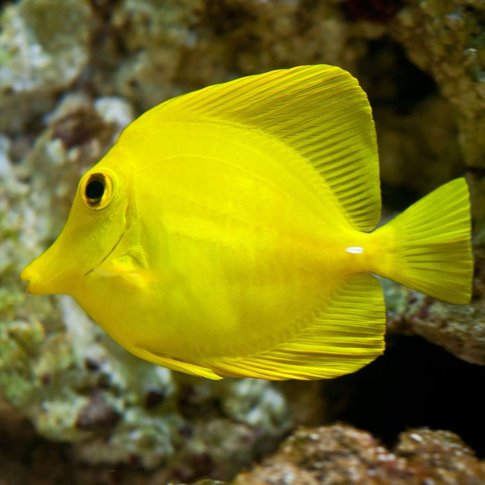 The Yellow Tang Zebrasoma Flavescens Is A Saltwater Fish Species Of The Family Acanthuridae It Is One Saltwater Aquarium Fish Reef Safe Fish Colorful Fish