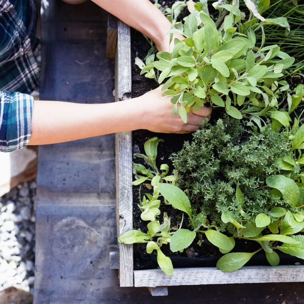 How To Grow Your Own Herb Garden Herb Garden Herbs Buy Plants