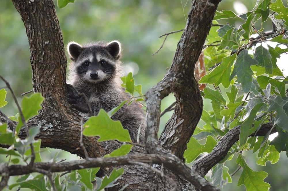 A cute raccoon relaxing in a tree Animals beautiful