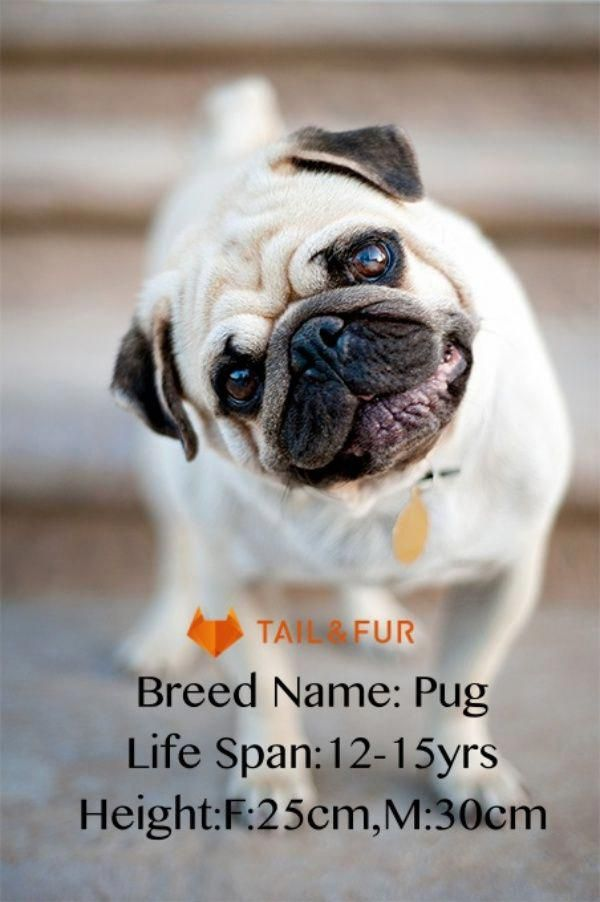 Get Great Recommendations On Pug Puppies They Are On Call For