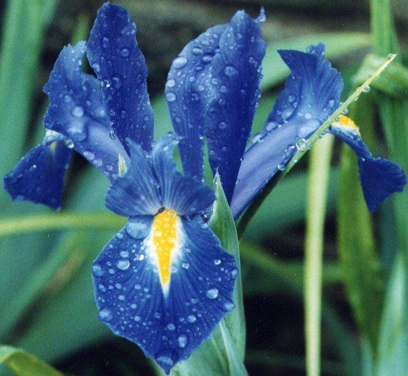 A French Iris Fleur De Lis Iris Flowers Flowers Most Beautiful Flowers