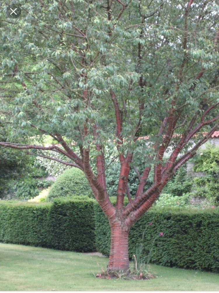 Prunus Serrula Birch Bark Cherry Zone 5 15 To 20 Ft Tall And Wide Ornamental Trees Prunus Garden Inspiration