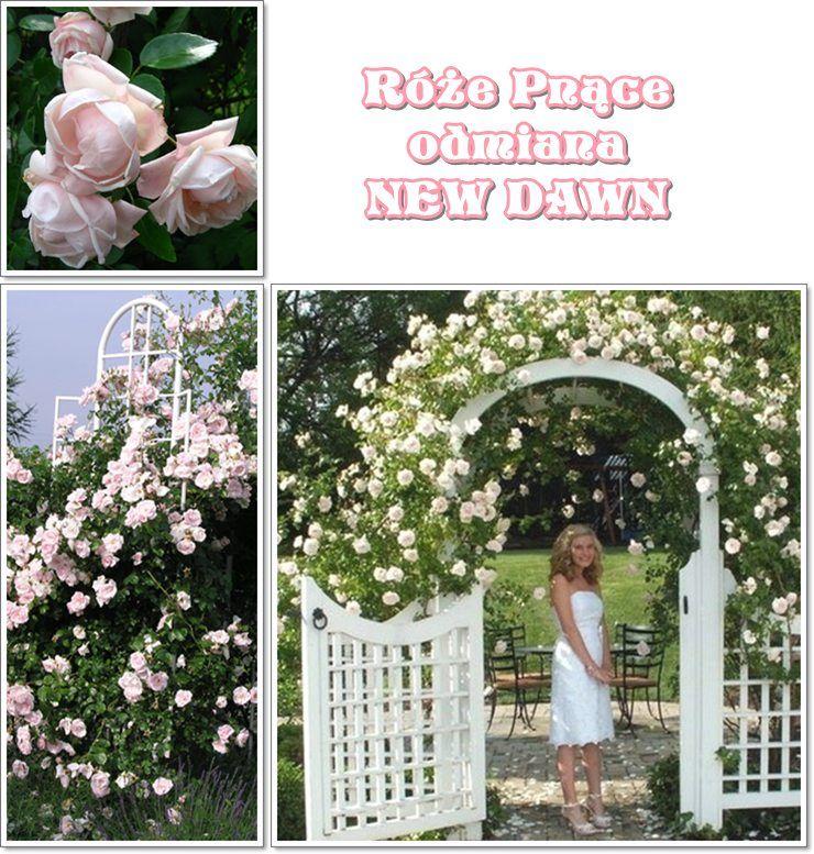 Roze Na Pergole Odmiana New Dawn Pnaca Garden Plants Outdoor Structures Plants
