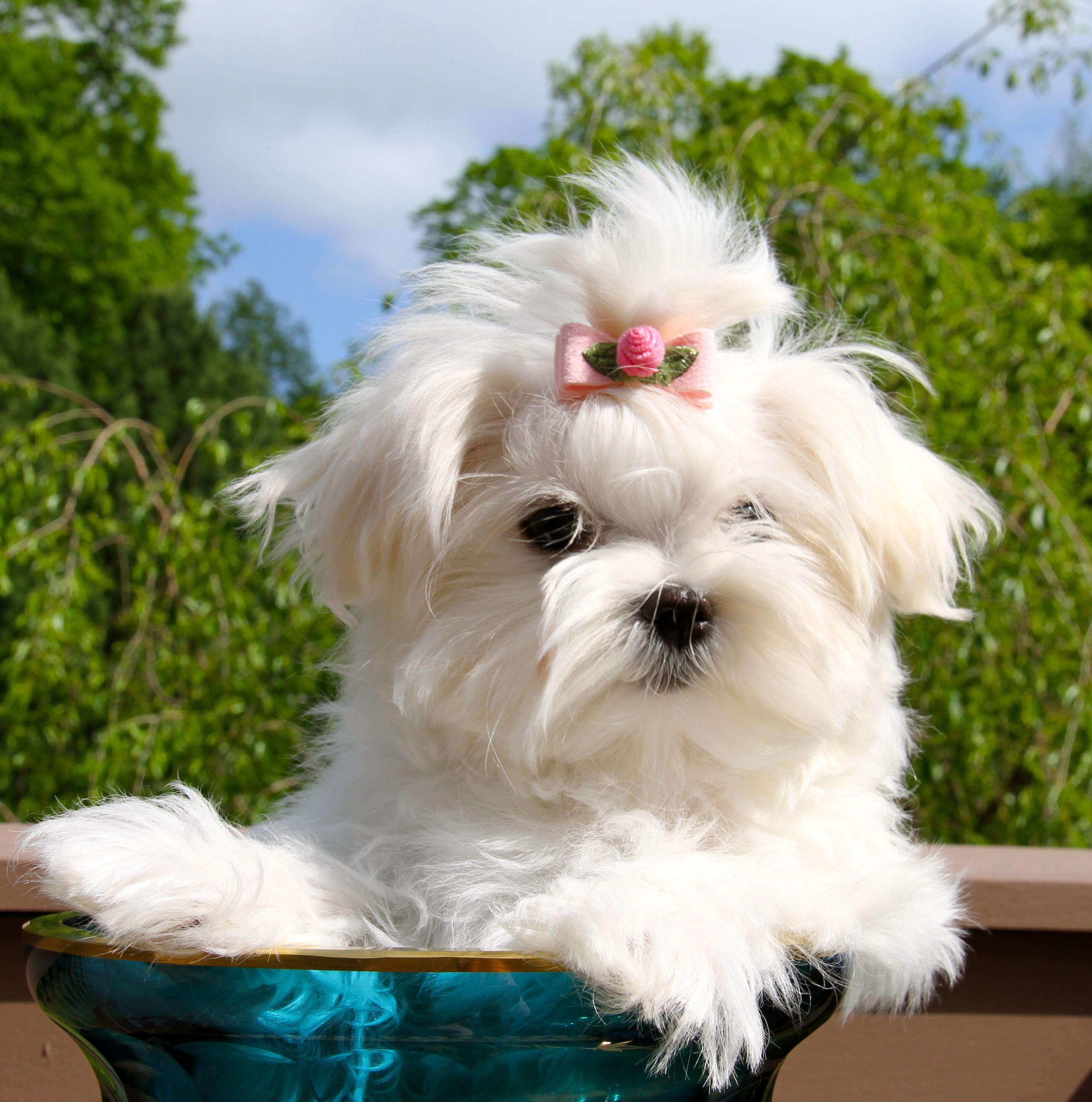 Aurellie Maltese Puppy Cutest Dog Ever Maltese Dogs