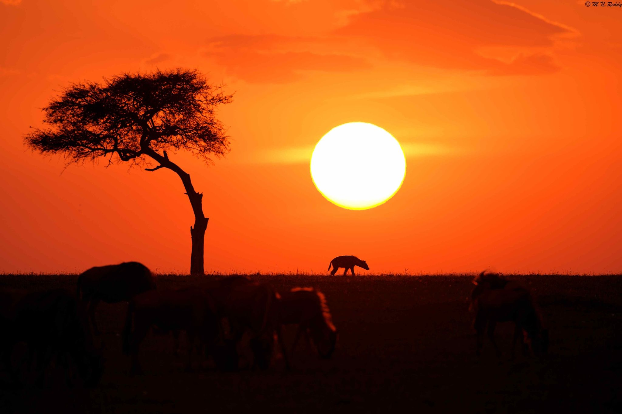 African Sunset - Sunsetting in Masai Mara ( Hyena & Wildebeests )