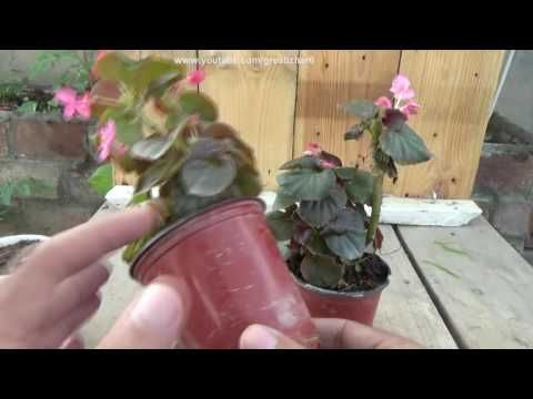 Begonia Plant Care Tropical Plant Care Begonia Flower Winter Flowe Plants Plant Care