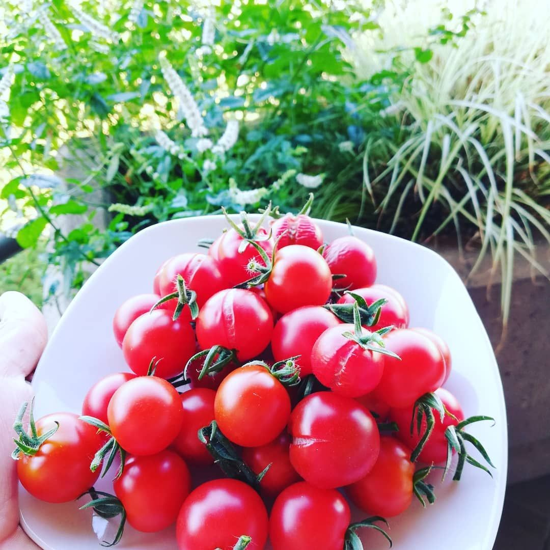 Tomaten Garten Ausdemeigenengarten Rot Tomate Grunerdaumen Freudeherrscht Garten Und Tomaten