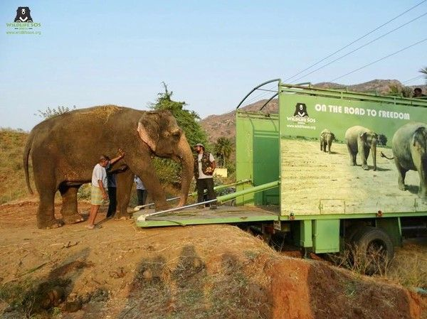 Elephant Rides To Freedom After 53 Years Of Abuse In The Circus
