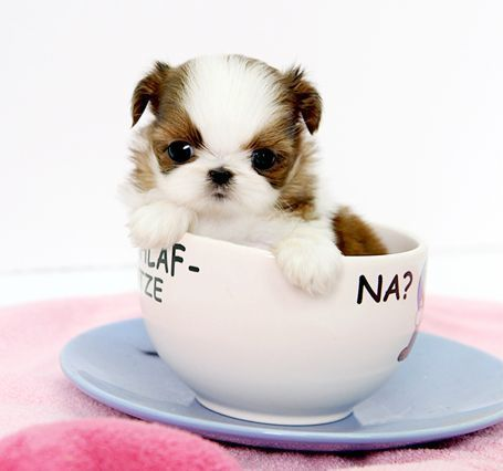 8 Tiny Pups That Are So Cute They Should Be Illegal Teacup