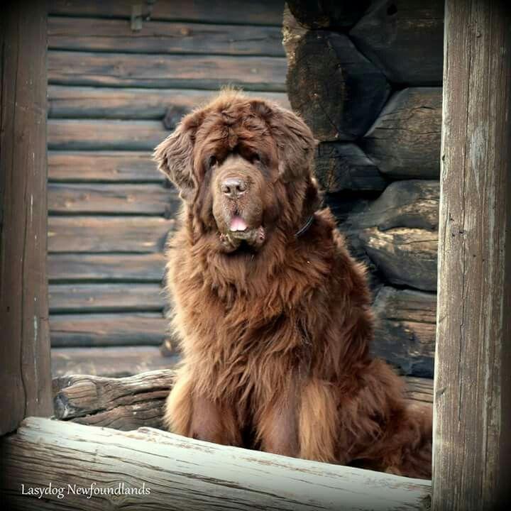 So Cute Newfoundland Dog Brown Newfoundland Dog Big Dogs