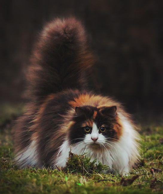 10 Norwegian Forest Cat Facts Mom Me Norwegian Forest Cat Forest Cat Cat Facts
