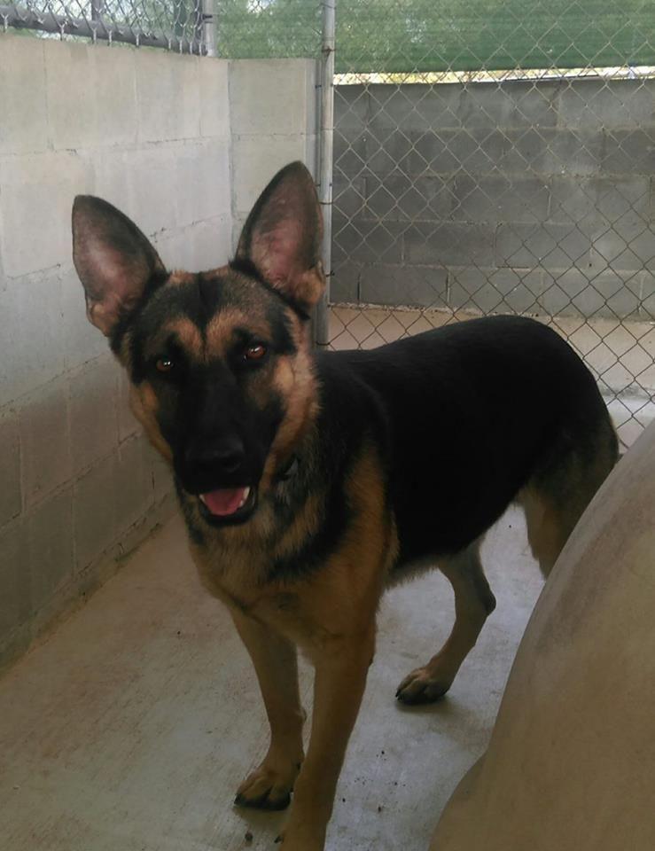 Adopt Kirby On Animal Rescue Animals Shepherd Dog