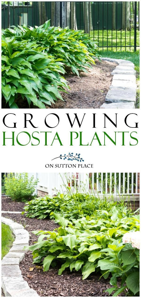 Tips for hostas care transplanting hostas hosta varieties and more