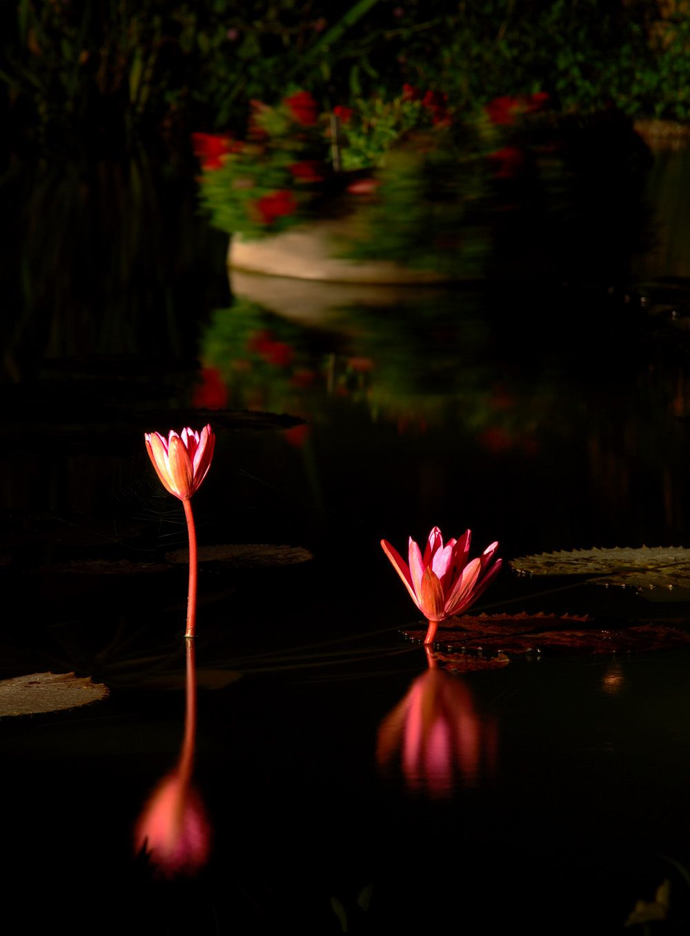 Night Blooming Water Lily Backyard Water Garden Monet By