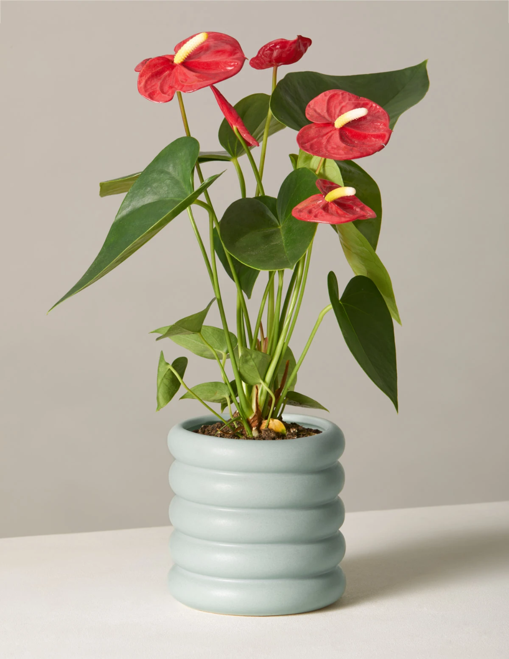 Red Anthurium In 2020 Anthurium Plants Delivered Best Indoor Plants