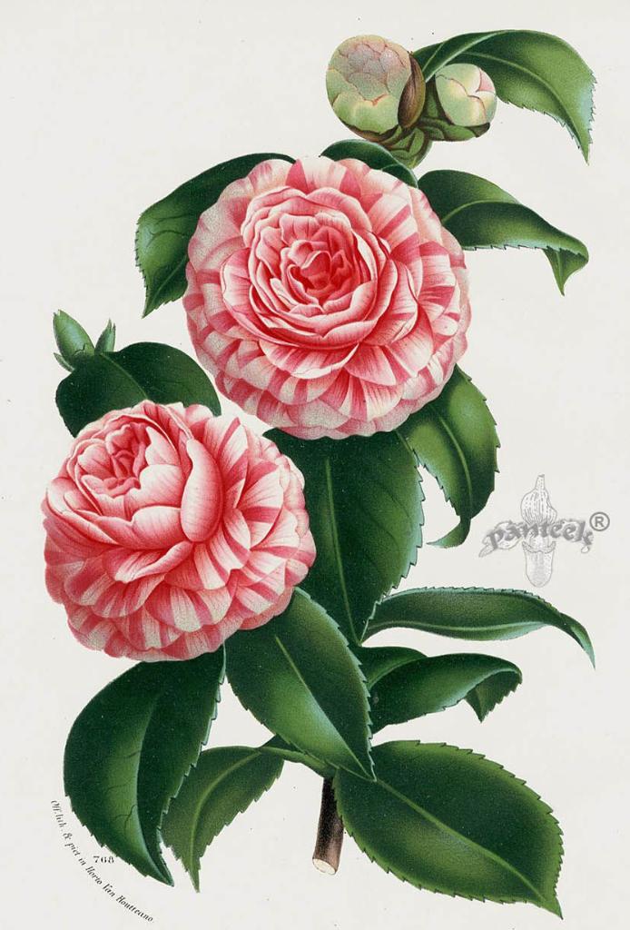 Camellia Botanical Drawing Print Flower Prints Art Botanical Prints Botanical Art
